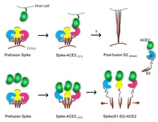 ACE2 binding causes dissociation of trimeric SARS-CoV-2 spike, may be used to inhibit further infection