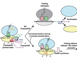 Structure and mechanisms of ribosomal frameshifting during SARS-CoV-2 translation
