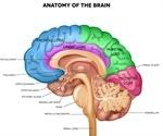 The Anatomy of the Human Brain