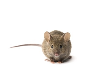 SARS-CoV-2-induces temporary loss of smell in mice