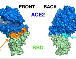 Long-range allosteric influences on SARS-COV-2-ACE2 stability and detachment