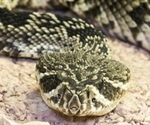 Scientists use toxin from rattlesnake venom for chronic pain