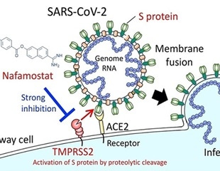 Pancreatitis drug Nafamostat shows promise for coronavirus
