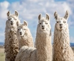 Antibody produced by llamas shows promise against SARS-CoV-2