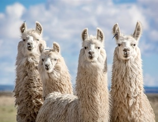 Llama nanobodies block SARS-CoV-2 infection in vitro