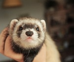 Cats, ferrets more vulnerable to COVID-19 than dogs