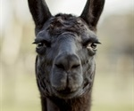 Antibodies from llamas may hold cure for novel coronavirus SARS-CoV-2