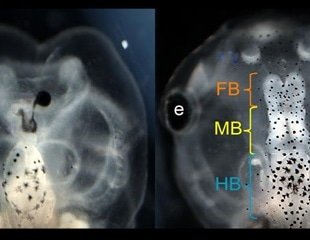 Frog brain discovery may pave the way for repairing birth defects in humans