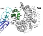 SARS-CoV-2 receptor 'mimic' could prevent COVID-19