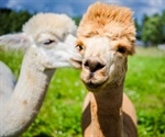 Alpaca-derived antiviral agent neutralizes SARS-CoV-2