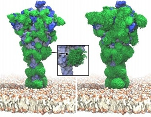 Spike proteins of SARS-CoV-2 covered by mobile glycans that shield its surface