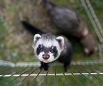 Ferrets not susceptible to SARS-CoV-2 infection