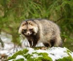 Raccoon dogs potential intermediate host for SARS-CoV-2