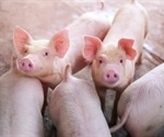 Pigs appear to be immune to SARS-CoV-2