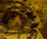 Spider venom peptide could help stop pain in irritable bowel syndrome