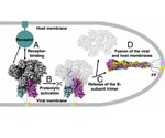 Capabilities of a Recombinant Spike Protein Trimer
