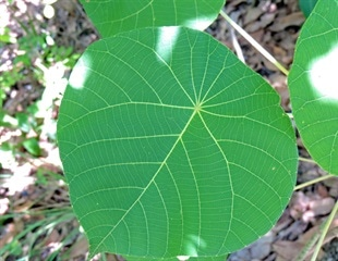 Australian stinging tree could pave way for novel painkillers
