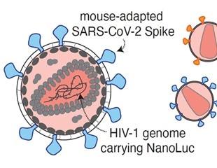 Optimal antibody combinations and Fc binding inhibit SARS-CoV-2 in vivo