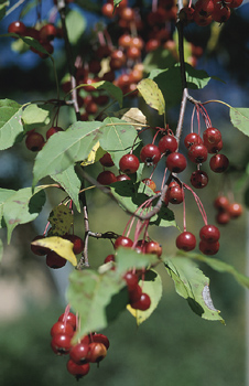 Cranberry juice, long considered a home remedy for urinary tract infections