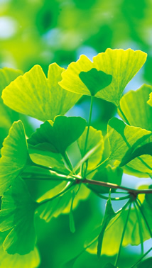 Photo - Ginko Plant - Insufficient data were found for the pediatric uses of chamomile, feverfew, ginger, and ginko.